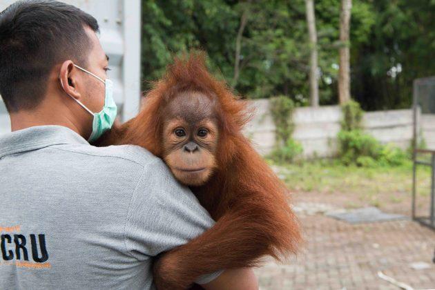 Panut Hadisiswoyo orangutan rescure