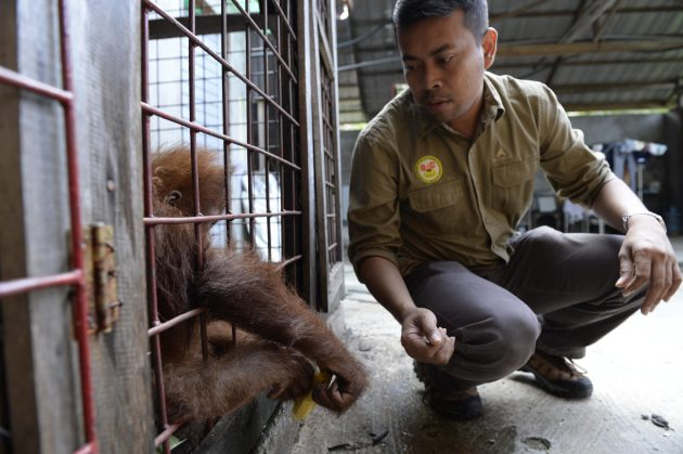 Sumatra Panut Hadisiswoyo with an orangutan illegally kept by local resident