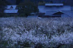 ume-blossom-night-sunai-no-sato-grounds-shiga